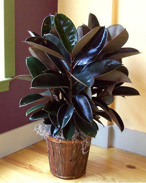 Ficus Elastica Photo Prince Black Prince