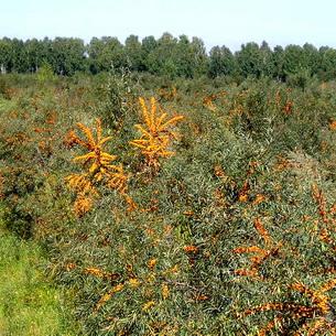 Облепиха — полезные свойства ягод и листьев, применение в народной медицине, противопоказания. Полезные свойства облепихи. Чем полезна облепиха для организма