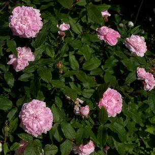 024f45b35a92 Ένα φυτό με μεγάλα λαμπερά ροζ λουλούδια με διάμετρο 8-9 cm μικρά πέταλα  και ένα γλυκό άρωμα. Τα φύλλα είναι ανοιχτά πράσινα. Οι θάμνοι είναι  συμπαγείς