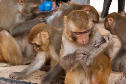 Główna atrakcja w Świątyni Małp