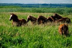 Konie w Narwiańskim Parku Narodowym
