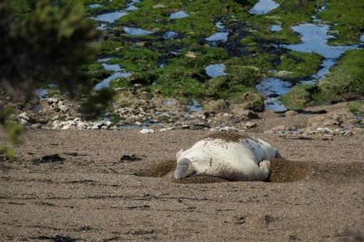 Słonie morskie w wodzie są bardzo zwinne, ale tutaj...