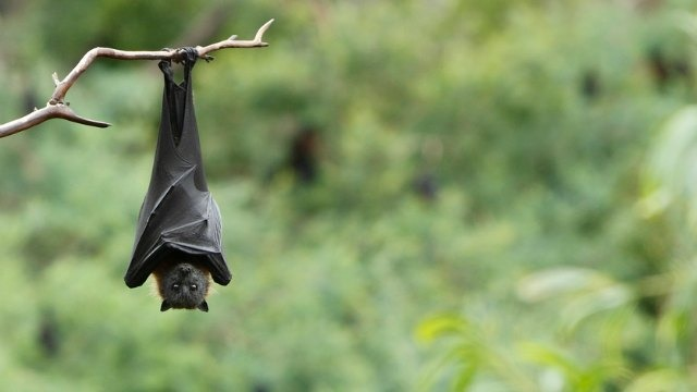 Kuwait taking precautionary measures to prevent the Nipah virus