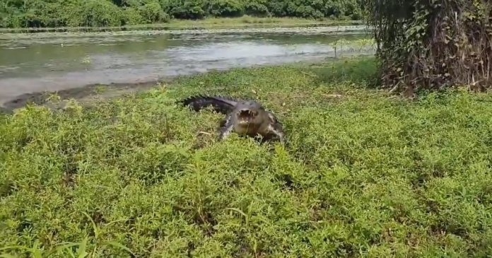 Crocodile chases fishermen away from their catch