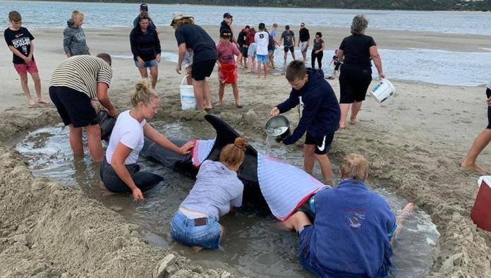 In new zealand, 7 whales were rescued from mass stranding