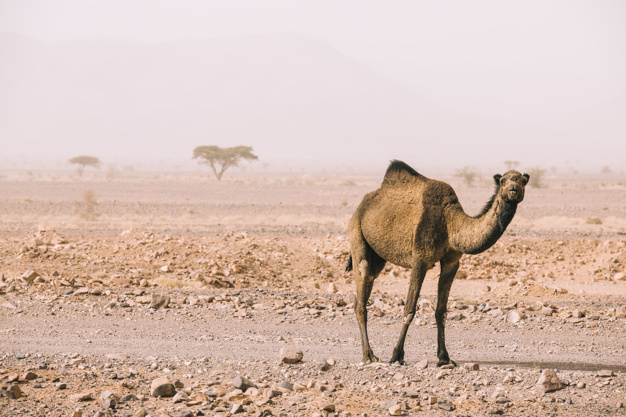 Australian Administration is going to kill dozens of camels in 5 days; Because they drink too abundant water