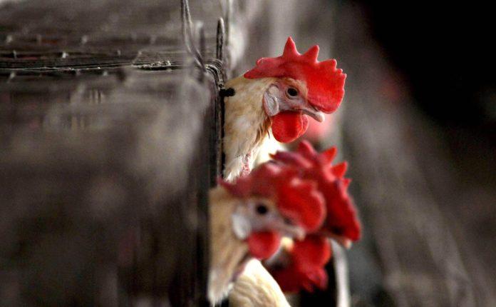 India's Bird Flu Outbreak