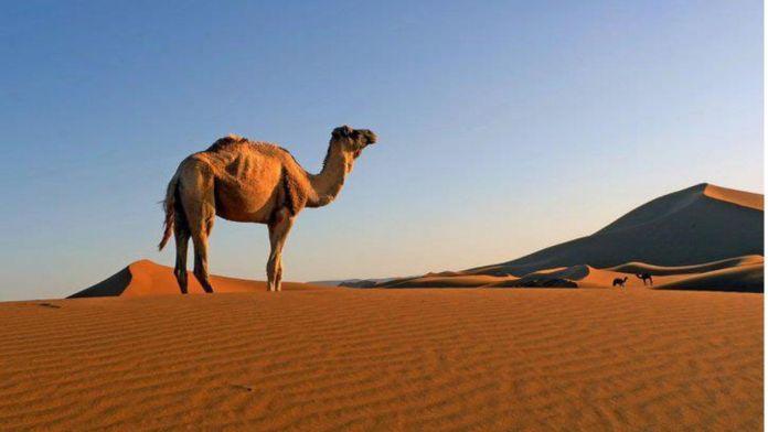 Dubai - Man arrested for stealing a rare newborn camel to gift his girlfriend