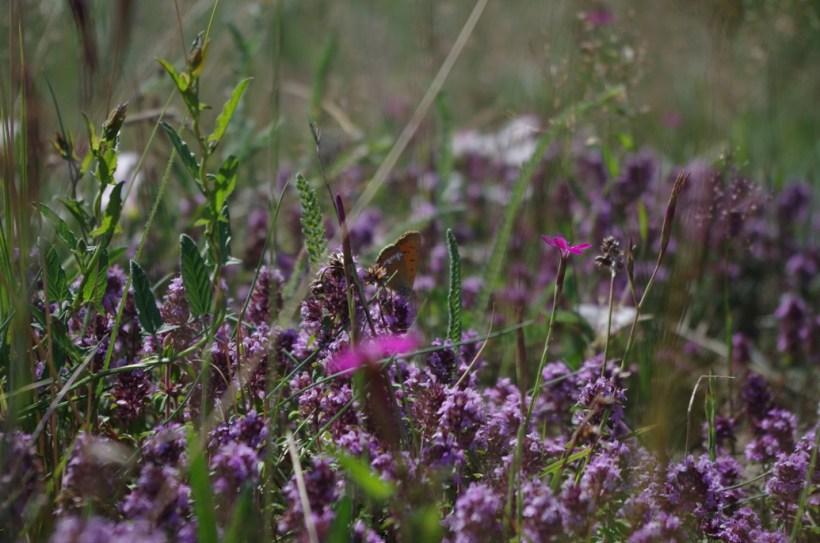 Łąka, macieżanka i motyle