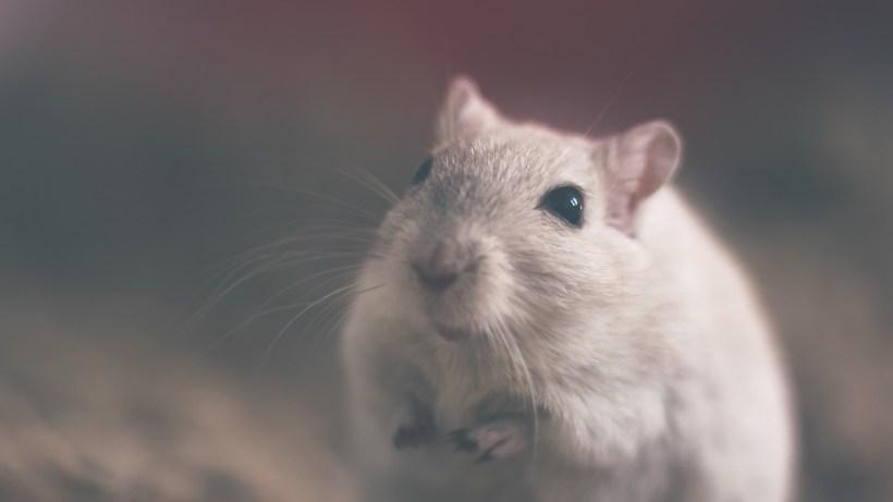 Terry Pratchett - Zadziwiający Maurycy i jego uczone szczury - mały szczurek