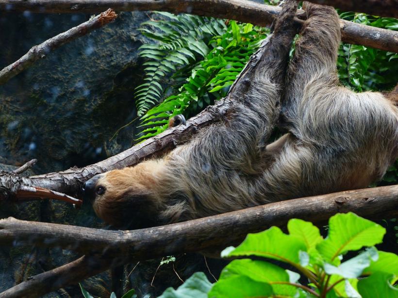 Jak robi leniwiec - Maaamoooo