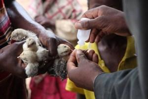Newcastle disease vaccination KYEEMA