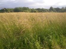 tall-grass-1312079600krv
