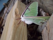 A cool Luna Moth