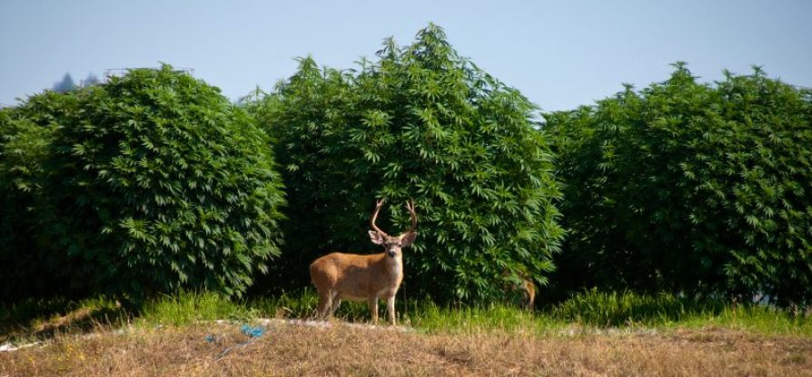 Image result for free to use image of humboldt county cannabis