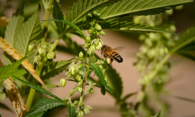 Bees and male marijuana