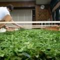 新茶シーズンにおける紅茶生産