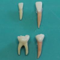 乳歯と永久歯の比較