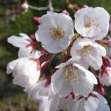 4月4日の賀茂川沿いと上賀茂神社の桜