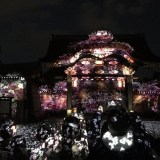 『二条城桜まつり』の桜