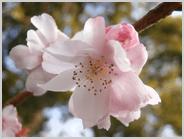 光徳公園の早咲きの桜