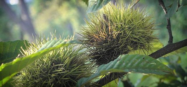 Ripening chestnuts (kuri)