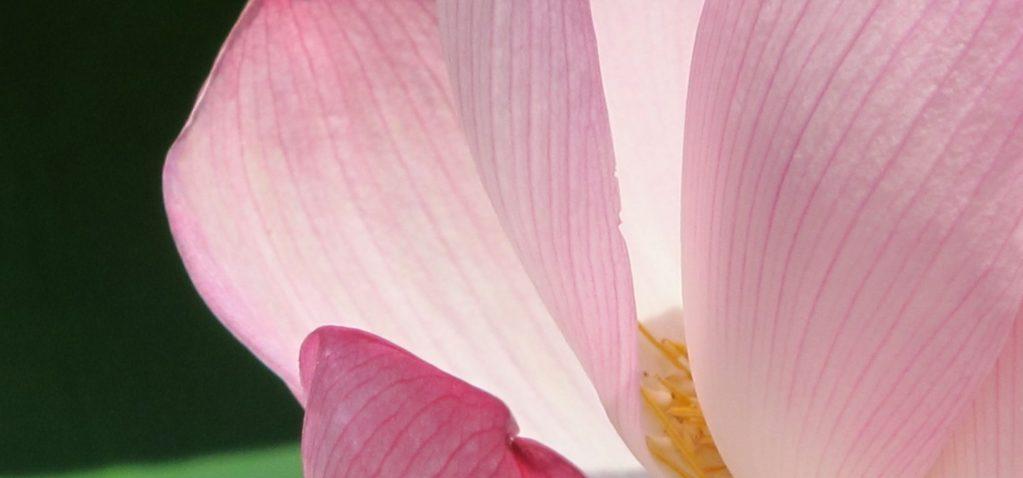Lotus (hasu)
