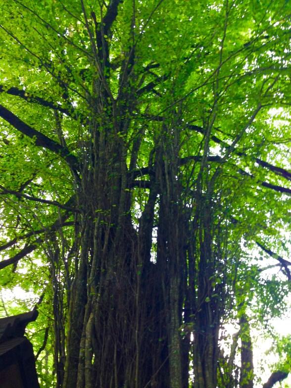 貴船神社天然記念物木