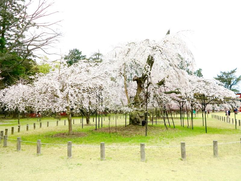 上賀茂神社御所桜