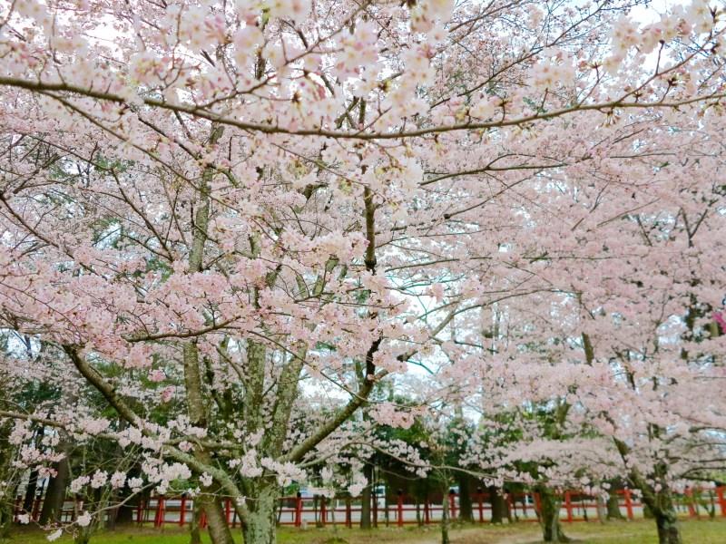 上賀茂神社桜s
