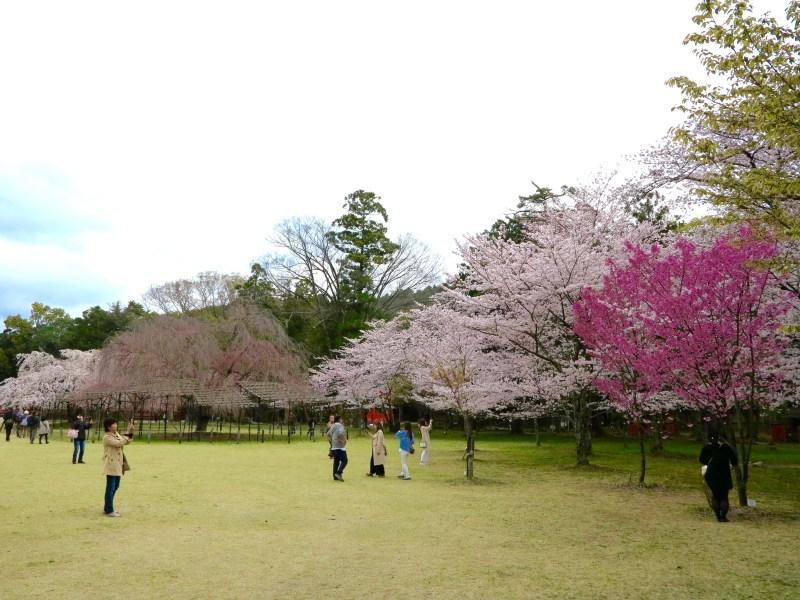 上賀茂神社桜