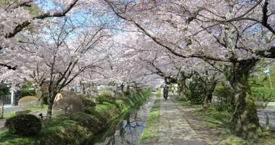 哲学の道桜花見11