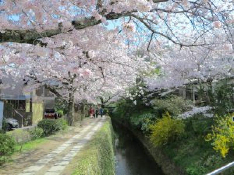 京都桜お花見哲学の道f