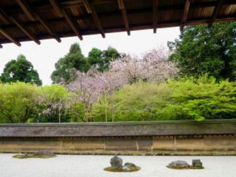 龍安寺桜お花見12