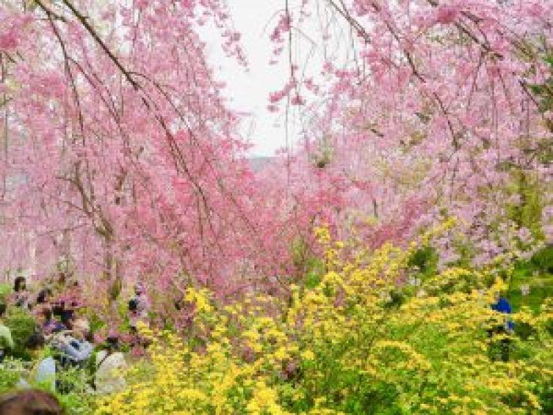 原谷苑桜お花見11