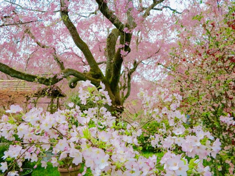 原谷苑桜お花見222