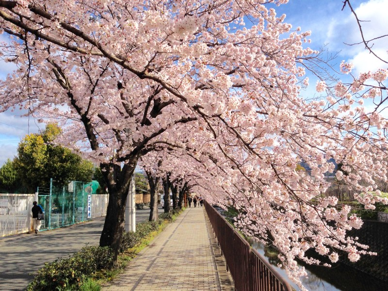 京都桜お花見穴場岩倉3
