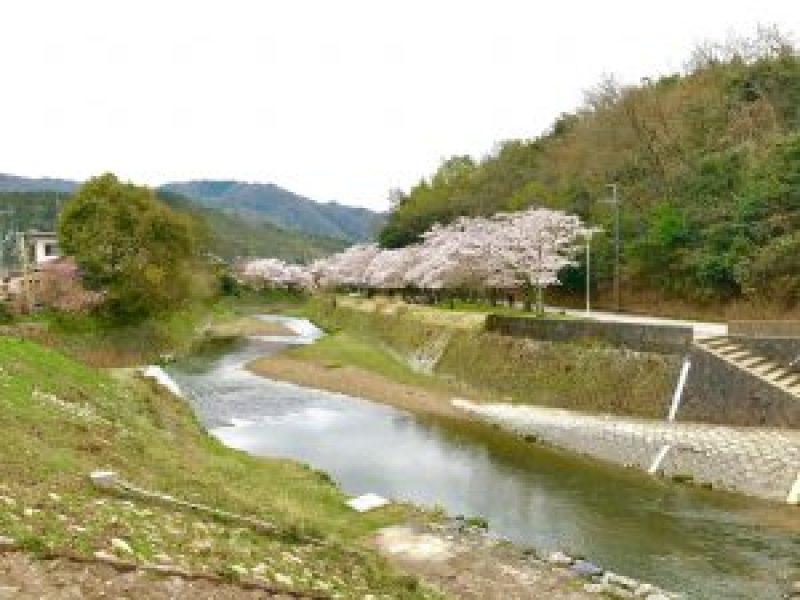 宝ヶ池公園花見桜10