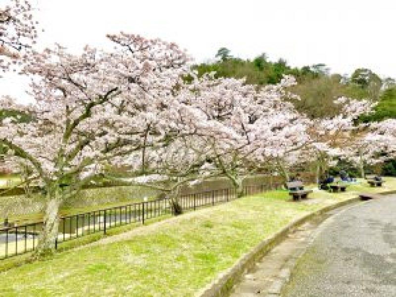 宝ヶ池公園花見桜9