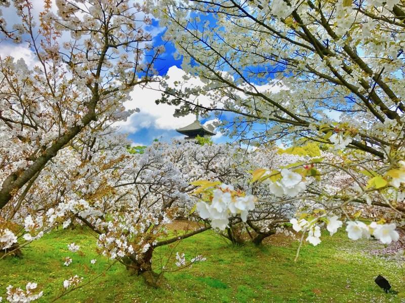 仁和寺御室桜花見12