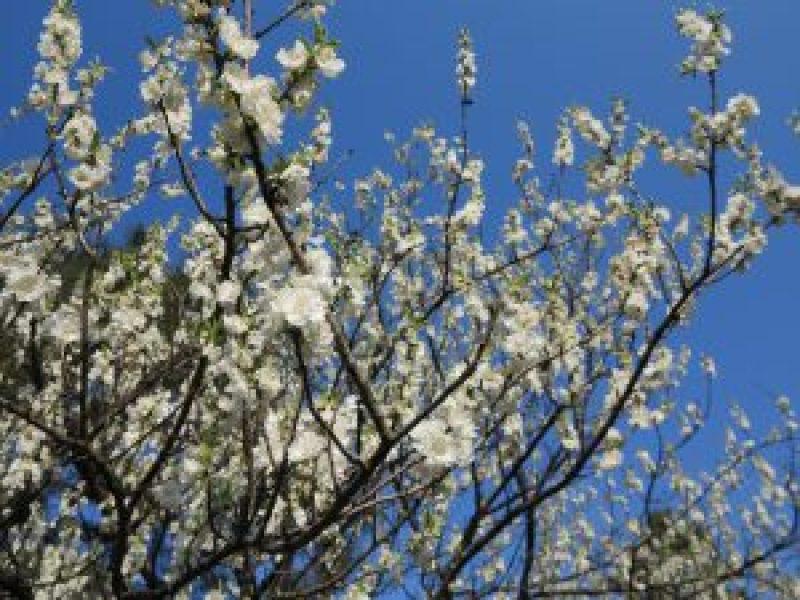 京都御所桜お花見6