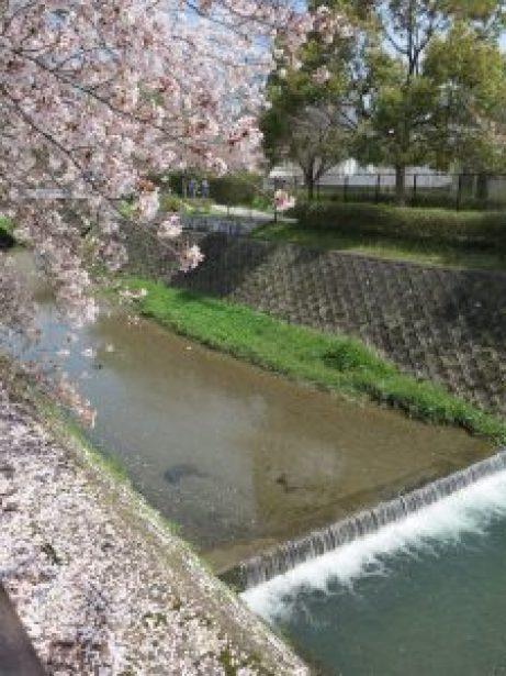 京都の桜ohanami112