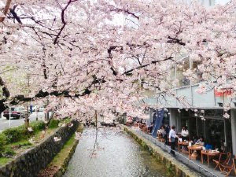 京都桜お花見鴨川デルタ11