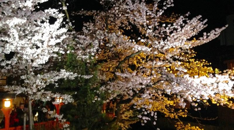 祇園白川高瀬川桜お花見18