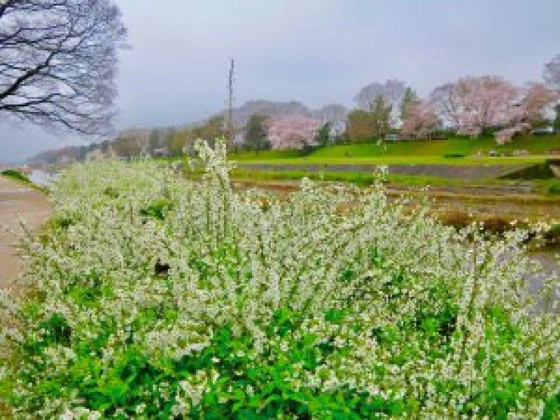 鴨川桜お花見6