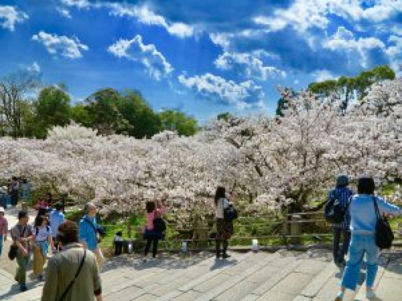 仁和寺御室桜花見