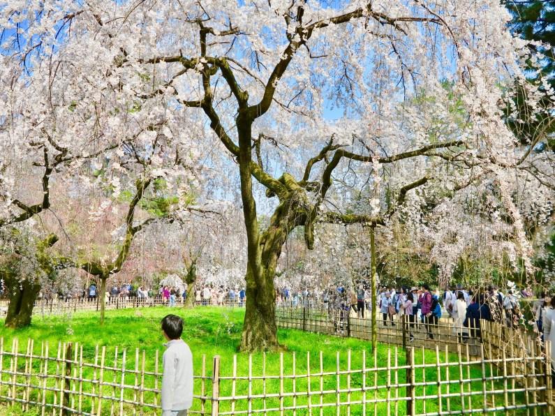 京都御苑近衛桜1