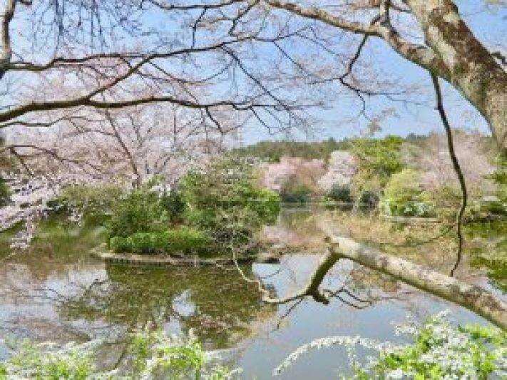 龍安寺桜2
