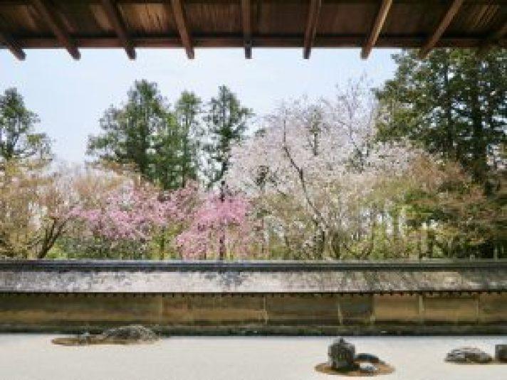 龍安寺桜4