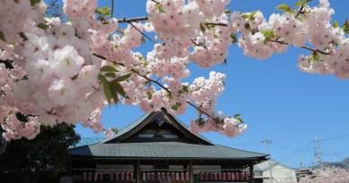 千本ゑんま堂桜5